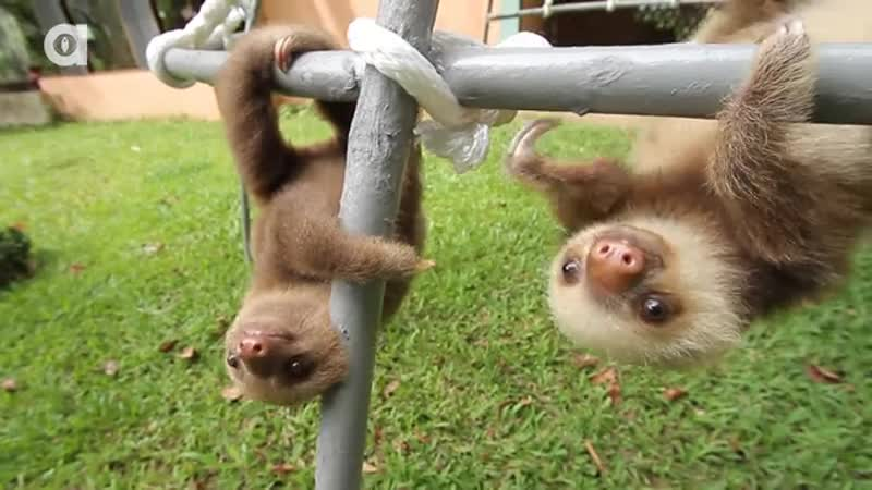 Babby sloth. join list: QtStuff (404 subs)Mention History.. Wait, they make SOUNDS? I never heard one before