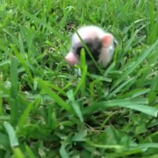majestic piggu. .. IT'S SO TINY!