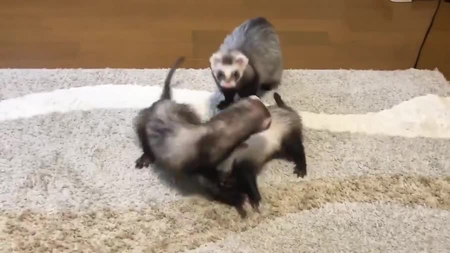 kungfu fighting. .. The video ended before we could see the fiery mid tunnel ferret collision ; (