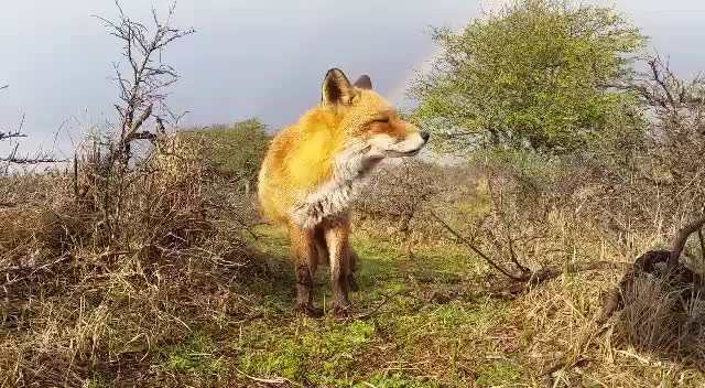 Wise blessed Fox. join list: ForestPuppers (636 subs)Mention History.. You've encountered the foxxo of luck. Good fortune will follow you on your quest. +3 Luck +3 Morale