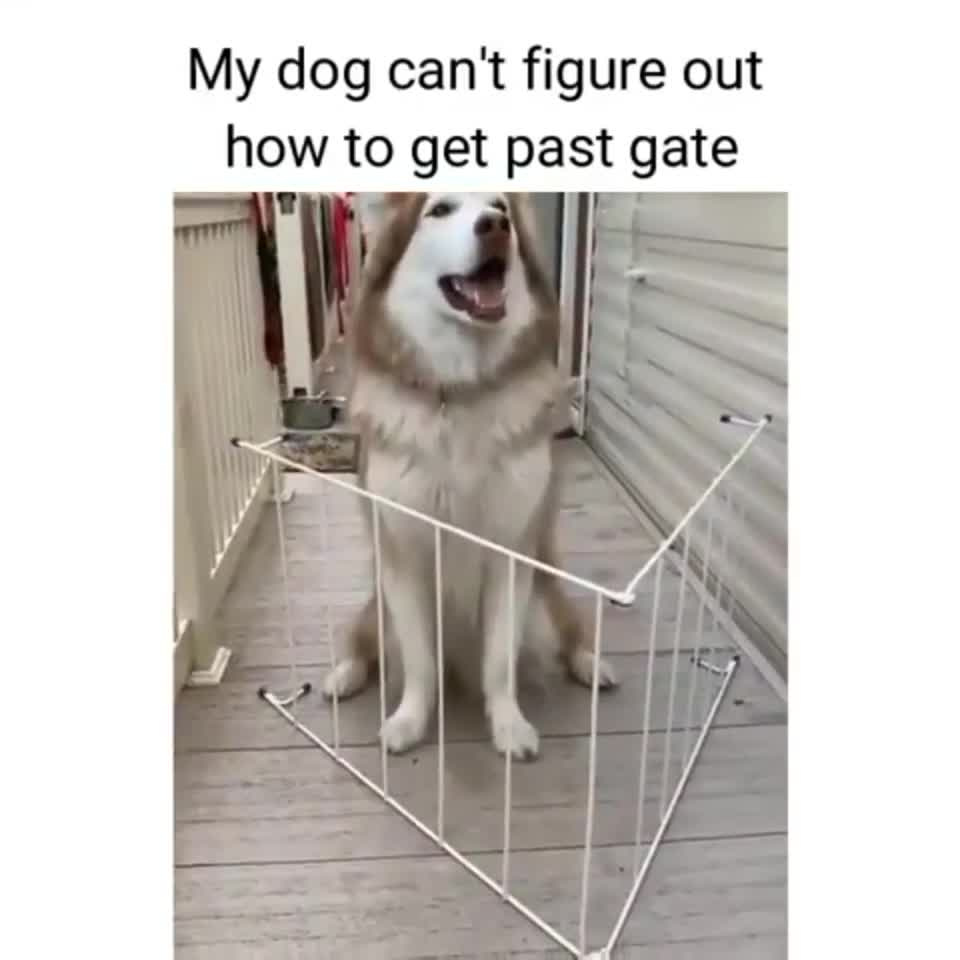 """My Husky Jumped through 4' High Windows. .. Like when you know you can't get all your units to the goal so you abandon some and they just stand there like """"Ready to serve, sir,"""" right up until t"""
