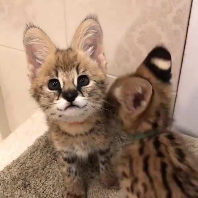Serval kittens. .. I misread the title as several kittens and was real confused when there was only two.